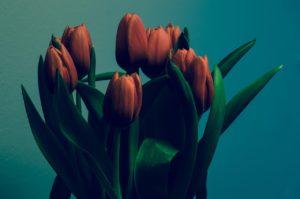 tulips-933486_1280